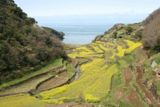 浜名浦の棚田 菜の花 もう田んぼの準備が始まっています。