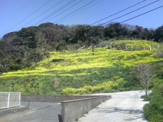 湊中学校裏山の菜の花