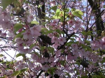玄海町の早咲きのサクラ