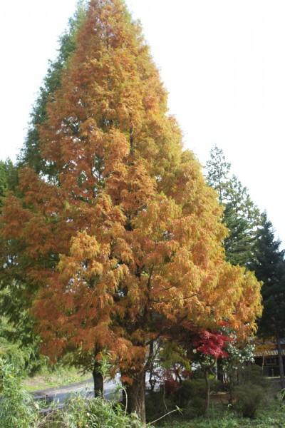 木の名前は分からない 日が差すと黄色とオレンジが輝く