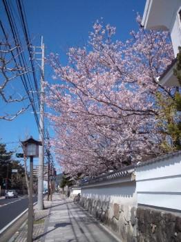 埋門ノ館桜